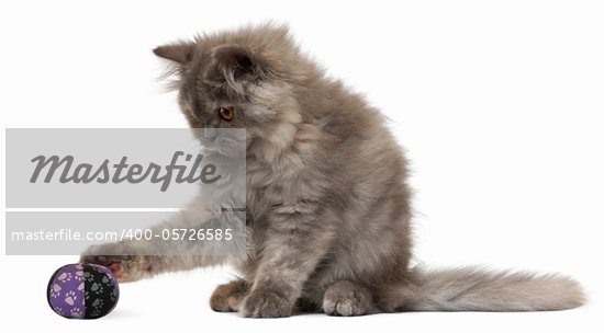 Persian kitten, 3 months old, playing with a ball in front of white background Stock Photo - Royalty-Free, Artist: isselee                       , Code: 400-05726585
