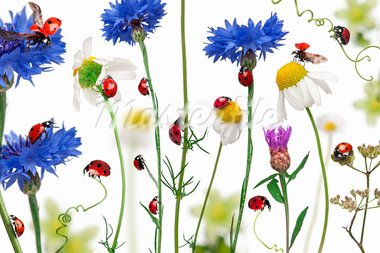 Seven-spot ladybird or seven-spot ladybugs on daisies, cornflowers and plants, Coccinella septempunctata, in front of white background Stock Photo - Royalty-Free, Artist: isselee                       , Code: 400-05726730