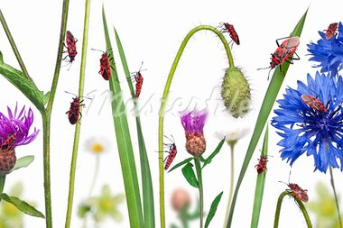 Collage of Scentless plant bugs, Corizus hyoscyami, on flowers, grass and plants in front of white background Stock Photo - Royalty-Free, Artist: isselee                       , Code: 400-05726732