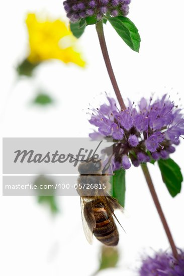 Female worker bee, Anthophora plumipes, on plant in front of white background Stock Photo - Royalty-Free, Artist: isselee                       , Code: 400-05726815