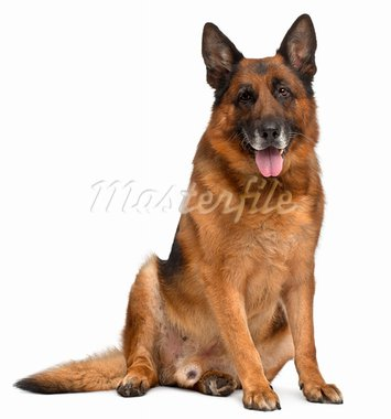 German Shepherd Dog, 11 years old, sitting in front of white background Stock Photo - Royalty-Free, Artist: isselee                       , Code: 400-05727012