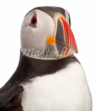 Close-up of Atlantic Puffin or Common Puffin, Fratercula arctica, in front of white background Stock Photo - Royalty-Free, Artist: isselee                       , Code: 400-05727092
