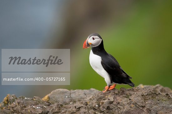 Atlantic Puffin or Common Puffin, Fratercula arctica, on Mykines, Faroe Islands Stock Photo - Royalty-Free, Artist: isselee                       , Code: 400-05727165