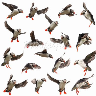 Collection of Atlantic Puffin or Common Puffin, Fratercula arctica, in flight in front of white background Stock Photo - Royalty-Free, Artist: isselee                       , Code: 400-05727177