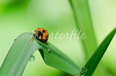ladybug in the green nature or in the garden Stock Photo - Royalty-Free, Artist: SweetCrisis                   , Code: 400-05727780