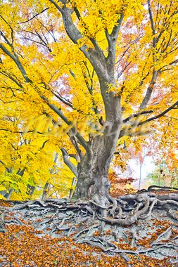 An image of a beautiful yellow autumn forest Stock Photo - Royalty-Free, Artist: magann                        , Code: 400-05730860
