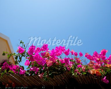 Beautiful pink bougainvilleas against blue sky in Assos, Kefalonia, Greece Stock Photo - Royalty-Free, Artist: ElinaManninen                 , Code: 400-05731454