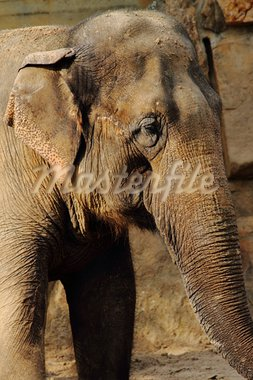 nice detail of old elephant big head Stock Photo - Royalty-Free, Artist: jonnysek                      , Code: 400-05732709