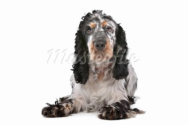 English Cocker Spaniel in front of a white background Stock Photo - Royalty-Free, Artist: eriklam                       , Code: 400-05732945