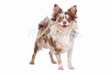 Chihuahua in front of a white background Stock Photo - Royalty-Free, Artist: eriklam                       , Code: 400-05732958