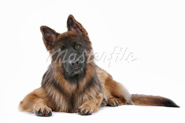 German Shepherd in front of a white background Stock Photo - Royalty-Free, Artist: eriklam                       , Code: 400-05732966