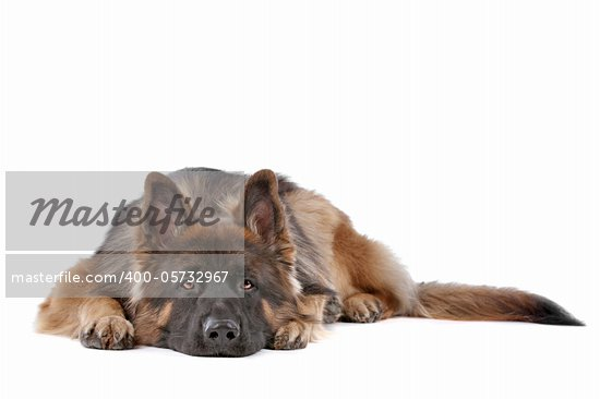German Shepherd in front of a white background Stock Photo - Royalty-Free, Artist: eriklam                       , Code: 400-05732967