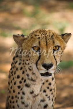 cheetah in Harnas Foundation  Namibia Stock Photo - Royalty-Free, Artist: watchtheworld                 , Code: 400-05733096