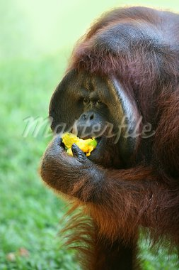 The orangutan eats a mango Stock Photo - Royalty-Free, Artist: Friday                        , Code: 400-05734132