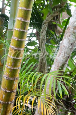 tropical pristine rain forest background, palm tree detail of exotic jungle purity and wild wilderness primary rainforest Stock Photo - Royalty-Free, Artist: kikkerdirk                    , Code: 400-05735759