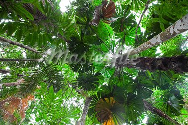 palm tree forest canopy tropical rainforest pritine untouched lush foliage with fan leaves Daintree jungle Cape tribulation Queensland Australia Stock Photo - Royalty-Free, Artist: kikkerdirk                    , Code: 400-05735760