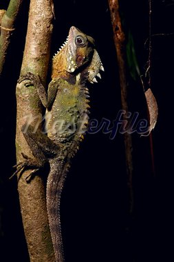 Boyd's Forest Dragon beautiful lizard of Daintree rainforest Queensland Australia Cape tribulation Stock Photo - Royalty-Free, Artist: kikkerdirk                    , Code: 400-05735762