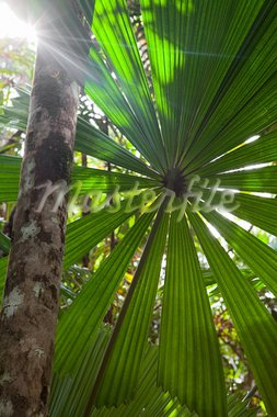 tropical pristine rain forest background, palm tree detail of exotic jungle purity and wild wilderness in primary rainforest Daintree Cape Tribulation Queensland Australia Stock Photo - Royalty-Free, Artist: kikkerdirk                    , Code: 400-05735792