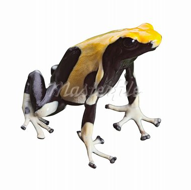 poisonous animal poison dart frog with bright vivid black and yellow colors beautiful amphibian of amazon rain forest dendrobates tinctorius Stock Photo - Royalty-Free, Artist: kikkerdirk                    , Code: 400-05735814