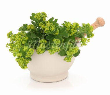 Ladies mantle herb flower sprigs in a cream stone mortar with pestle isolated over white background. Alchemilla. Stock Photo - Royalty-Free, Artist: marilyna                      , Code: 400-05735882