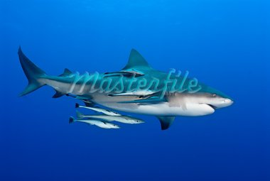 The view of a bull shark and fish swimming along, Pinnacles, Mozambique Stock Photo - Royalty-Free, Artist: Fiona_Ayerst                  , Code: 400-05736134