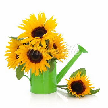 Sunflower arrangement in a green watering can and loose isolated over white background. Stock Photo - Royalty-Free, Artist: marilyna                      , Code: 400-05736869