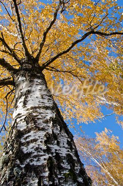 Birch trunk. Autumn tree branches and colored leaves. Stock Photo - Royalty-Free, Artist: sauletas                      , Code: 400-05737000