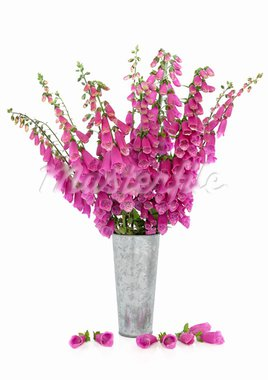 Foxglove flower arrangement in a distressed aluminum vase with scattered petals isolated over white background. Stock Photo - Royalty-Free, Artist: marilyna                      , Code: 400-05738055