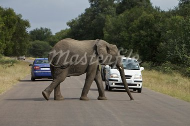 Elephant cross a road in Kruger National Park, South Africa Stock Photo - Royalty-Free, Artist: instinia                      , Code: 400-05739079