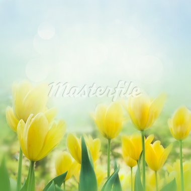 Spring background with beautiful  yellow tulips Stock Photo - Royalty-Free, Artist: mythja                        , Code: 400-05739542