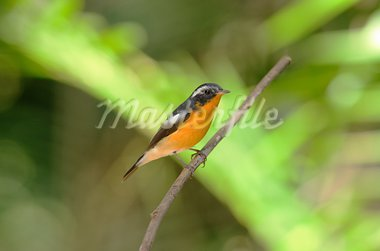 beautiful male mugimaki flycatcher (Ficedula mugimaki) Stock Photo - Royalty-Free, Artist: cowboy54                      , Code: 400-05740384