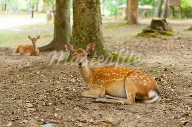 One of the famous sacred sika deers in Nara, Japan Stock Photo - Royalty-Free, Artist: Fyletto                       , Code: 400-05743528