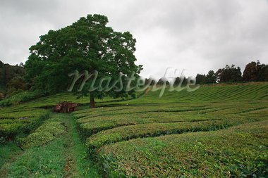 Tea fields of Gorreana in azores island of S. Miguel, Portugal Stock Photo - Royalty-Free, Artist: CaptureLight                  , Code: 400-05743612