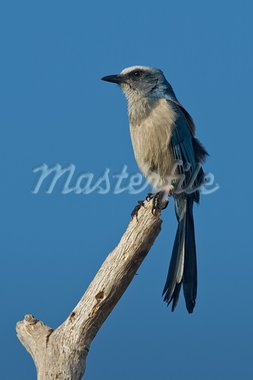 Florida scrub-jay perched on bare tree limb. Stock Photo - Royalty-Free, Artist: raptorcaptor                  , Code: 400-05744846