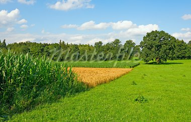 Plantation of Fodder Corn and Wheat Fields in Southern Bavaria, Germany Stock Photo - Royalty-Free, Artist: gkuna                         , Code: 400-05745186