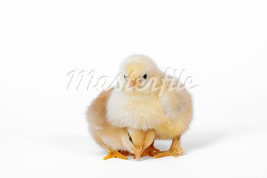 Cute little baby chicken on white Stock Photo - Royalty-Free, Artist: boomerang311                  , Code: 400-05745454