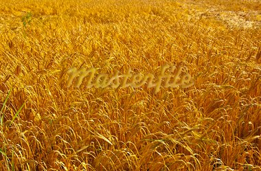 Wheat Field in Bavaria, Germany Stock Photo - Royalty-Free, Artist: gkuna                         , Code: 400-05746810