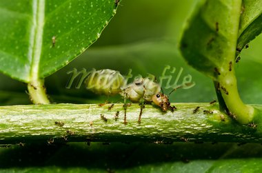 Physic name is Oecophylla smaragdina Fabriciu in green nature Stock Photo - Royalty-Free, Artist: SweetCrisis                   , Code: 400-05747066