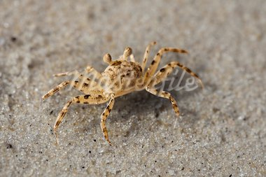 Small beach crab on the sand close up Stock Photo - Royalty-Free, Artist: pzaxe                         , Code: 400-05752115