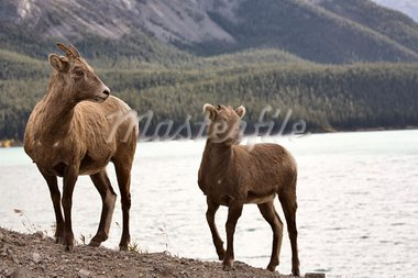Rocky Mountain Sheep Alberta Canada young kid Stock Photo - Royalty-Free, Artist: pictureguy                    , Code: 400-05753254