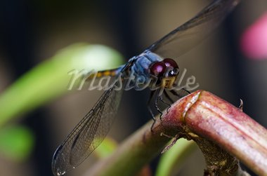 dragonfly in garden or in green nature Stock Photo - Royalty-Free, Artist: SweetCrisis                   , Code: 400-05753979