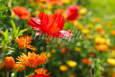 Corn Poppies and Pot Marigold, Germany Stock Photo - Premium Royalty-Free, Artist: F. Lukasseck, Code: 600-05756171