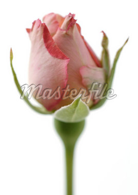 Pink rose bud Stock Photo - Premium Royalty-Freenull, Code: 695-05778425