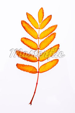 Close-up of Rowan Leaf Stock Photo - Premium Royalty-Free, Artist: Atli Mar Hafsteinsson, Code: 600-05786337
