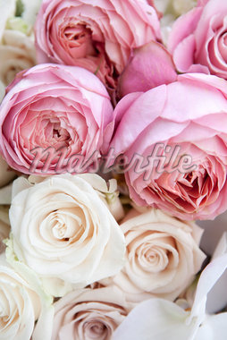 Close-up of Roses Stock Photo - Premium Royalty-Free, Artist: Ikonica, Code: 600-05786601