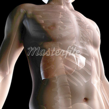 Healthy liver, artwork Stock Photo - Premium Royalty-Freenull, Code: 679-05798782