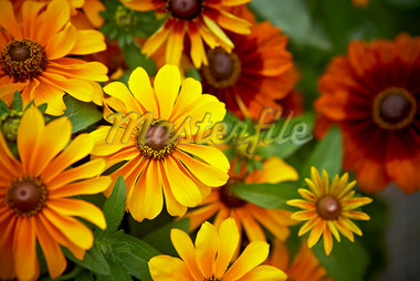 Black-eyed Susan Fulgida, Toronto, Ontario, Canada Stock Photo - Premium Royalty-Free, Artist: Shannon Ross, Code: 600-05800631