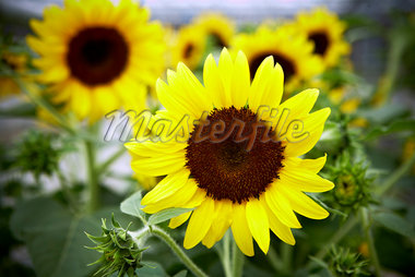 Close-up of Sunflowers, Toronto Botanical Garden, Toronto, Ontario, Canada Stock Photo - Premium Royalty-Free, Artist: Shannon Ross, Code: 600-05800675