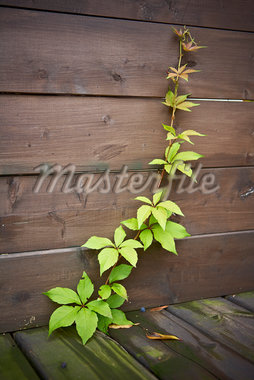 Virginia Creeper Growing up through Deck, Toronto, Ontario, Canada Stock Photo - Premium Royalty-Free, Artist: Shannon Ross, Code: 600-05800680