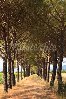 Pine Tree Lined Path, Grosseto, Tuscany, Italy Stock Photo - Premium Royalty-Free, Artist: F. Lukasseck, Code: 600-05803087